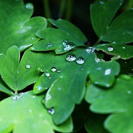 Waterdrops by Michaela Kliková - Nature Up Close Natural Waterdrops ( floral, close up, rain, drops, waterdrops, green, leaves, nature, flora, water,  )