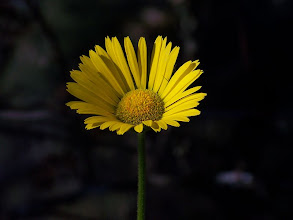 Photo: Doronicum plantagineum