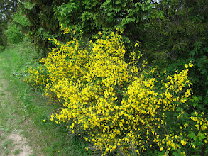 Photo: 22.Pięknie kwitnący krzew.