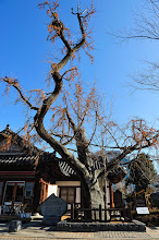 Photo: This is a 500-year-old ginkgo tree! Free from bugs, this tree was planted in Hyanggyo in the hope that young scholars would similarly advance in government posts free from the taint of injustice