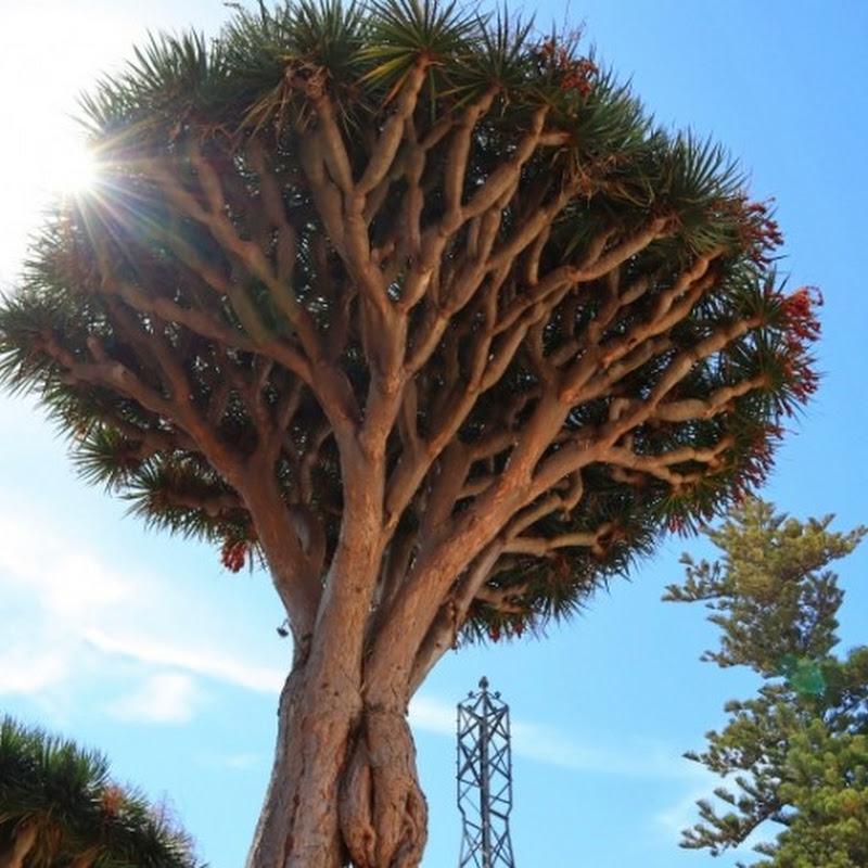 【世界の神秘】血のように真っ赤な樹液が出る神秘的な木 / スペイン・テネリフェ島の樹齢500年を超える「竜血樹」とは?
