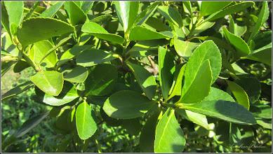 Photo: Turda - Str. Andrei Muresanu - spatiu verde al spitalului, Voiniceriu japonez verde (Euonymus japonicus Microphylla) -  2018.09.11