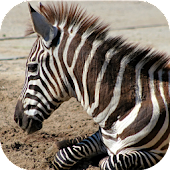 ZebraBG: The Zebra Wallpapers