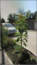 Photo: Floarea-soarelui (Helianthus annuus) - de pe Str. Panselutelor - 2017.07.13
