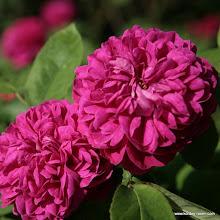 Photo: Historische Rose Rose de Resht
