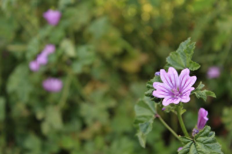 Violet di Marti