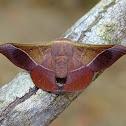 Moth - Herbinalla caudina