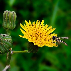 Dandelion by Yatin Pandit - Nature Up Close Gardens & Produce