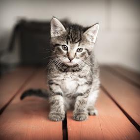 Kotek by Paweł Mielko - Animals - Cats Kittens ( cats, animals, cat, cat eyes, animal,  )