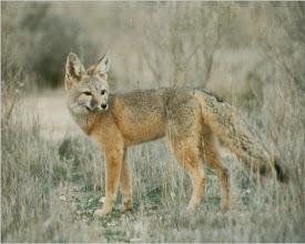 Photo: Elk Hills Fox