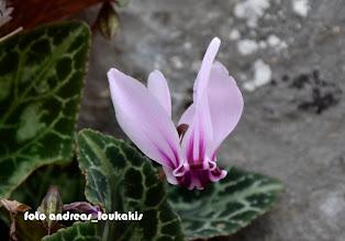 Photo: CYCLAMEN GRAECUM Το Κυκλάμινο το Γραικό είναι το πιο κοινό είδος κυκλάμινου στην Ελλάδα. Την ονομασία του άλλωστε την οφείλει στο γεγονός ότι συναντάται κυρίως στην Ελλάδα καθώς και στα ανατολικά παράλια του Αιγαίου. Είναι πολυετές φυτό με μεγάλο κόνδυλο στην ρίζα από την οποία εκφύονται τα φύλλα και τα άνθη. Τα άνθη του είναι συνήθως ρόδινα και εντονότερα κόκκινα στην κάτω πλευρά τους. Τα φύλλα του είναι καρδιοειδή σκούρα πράσινα με όμορφες πρασινωπές ανοιχτόχρωμες αποχρώσεις σε συμμετρικούς σχηματισμούς. Το ύψος του φυτού δεν υπερβαίνει τα 15 εκατοστά. Η περίοδος ανθοφορίας του είναι από τον Σεπτέμβριο μέχρι και τον Νοέμβριο.