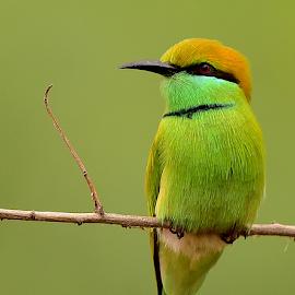 Green Bee Eater by Manoj Kulkarni - Animals Birds ( sanctuary, green, bee, nature, india, branch, eyes, red, background, bird, eater, indian, wildlife )