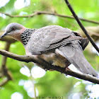 Spotted Dove (कुर्ले ढुकुर)