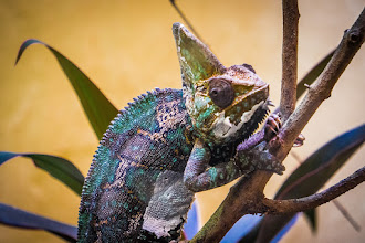 Photo: One chameleon, coming up -- Smithsonian National Zoo, Washington, D.C.