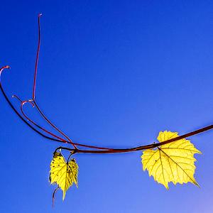 grapevine leaves 2014.jpg
