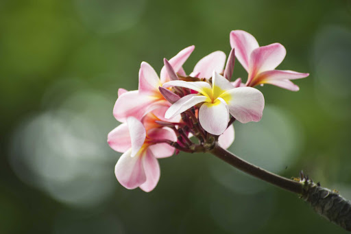 Ponant-French-Polynesia-plumeria.jpg - Take time to smell the plumeria in the South Seas on a Ponant cruise.