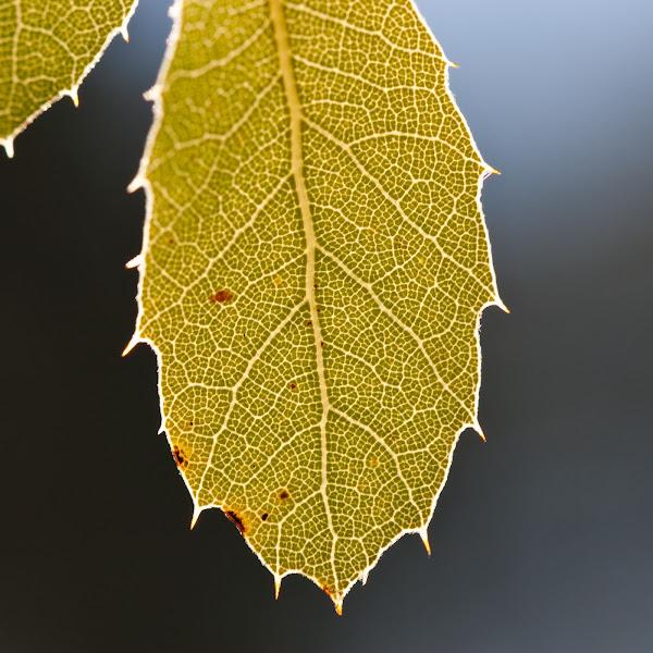 Photo: Leaf and Light, plate 1