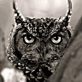 Owl by Pieter J de Villiers - Black & White Animals