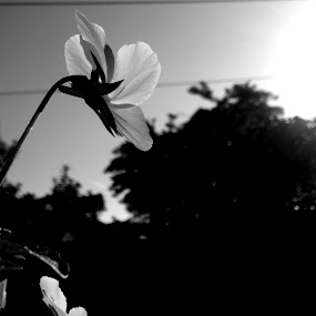 Sun Soaked by Teresa Beteta - Nature Up Close Other Natural Objects ( black and white, sunny, florida, sunlight, flower )