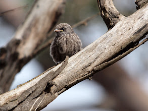 Photo: Dusky Woodswallow (Juv)