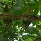 perico de frente escarlata  - Scarlet-fronted Parakeet