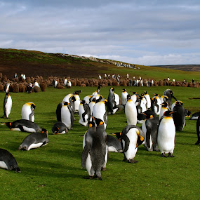 King Penguin colony  by Janet Rose - Novices Only Wildlife (  )