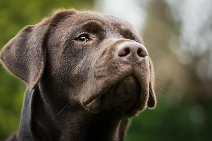 Watchful Cooper by Stefan Tiesing - Animals - Dogs Portraits