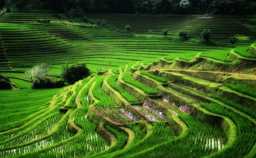 field in ubud by Made Weli Rtanaya (EBENK) - Landscapes Prairies, Meadows & Fields