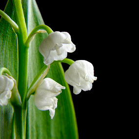lily in the valley by Joseph Balson - Flowers Flower Arangements ( macro, close up, lily in the valley, white, flower,  )