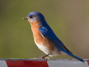Photo: Eastern Bluebird in El Franco Lee