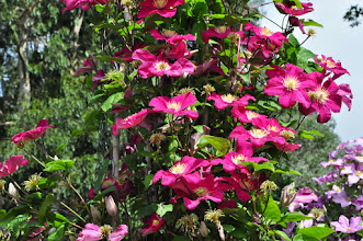 Photo: Clematis 'Barbara Harrington'
