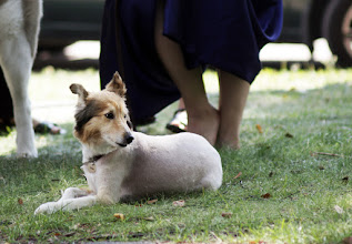 Photo: The heat wave has forced even dogs to be shaved to sustain the temps.. and this is not a joke.
