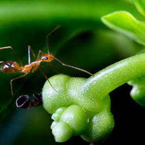 The Ant by Mohamad Sa'at Haji Mokim - Animals Insects & Spiders