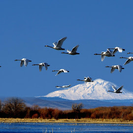 Swans near Mt Adams by Gaylord Mink - Digital Art Animals ( animals, birds, swans, digital art )