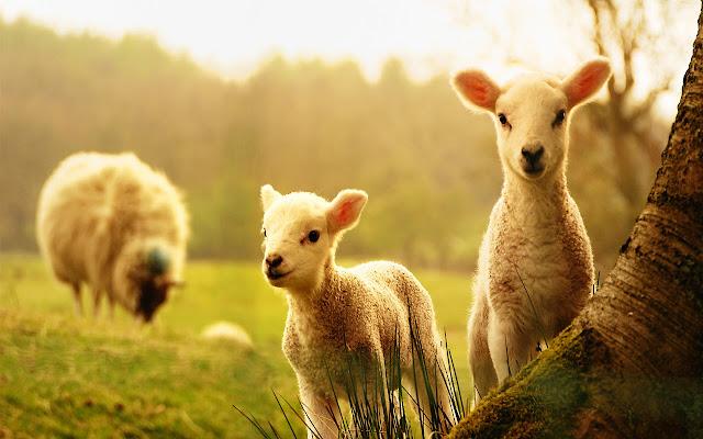 Sheep - New Tab in HD