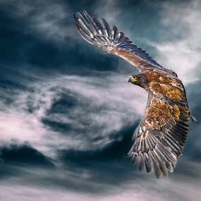 Eagle by Christoph Reiter - Animals Birds ( bird, animals, sky, eagle, light, animal )