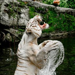 Am gonna get ya! by Israr Shah - Animals Lions, Tigers & Big Cats ( big cat, cat, white tiger, tiger, white tiger feeding, lions, tigers, white tiger eating )