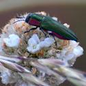 Jewel beetle; Carcoma metálica