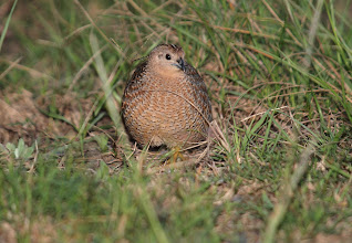 Photo: Brown Quail - Khapinghat Nature Reserve