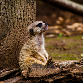Lounging Meerkat by Joel Eade - Animals Other Mammals ( furry, beautiful, good, meerkat, cute, great, awsome, best, cuddly, brown, lazy, perfect, animal,  )