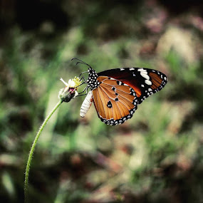 Butterfly by Abhisek Datta - Animals Insects & Spiders ( butterfly )