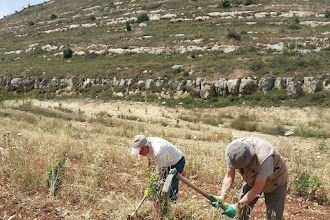 Photo: Group working in the valley, where new trees  where planted after the Israeli army destroyed most of them in 2014.