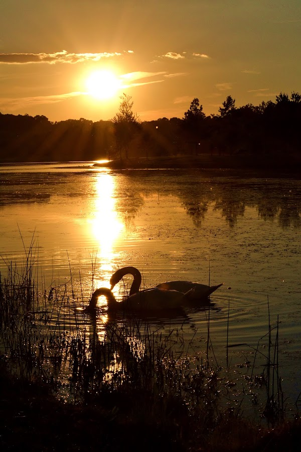 swan lake by Jamie Auletta - Landscapes Sunsets & Sunrises ( , Monochromatic, color, one, tone, tones )