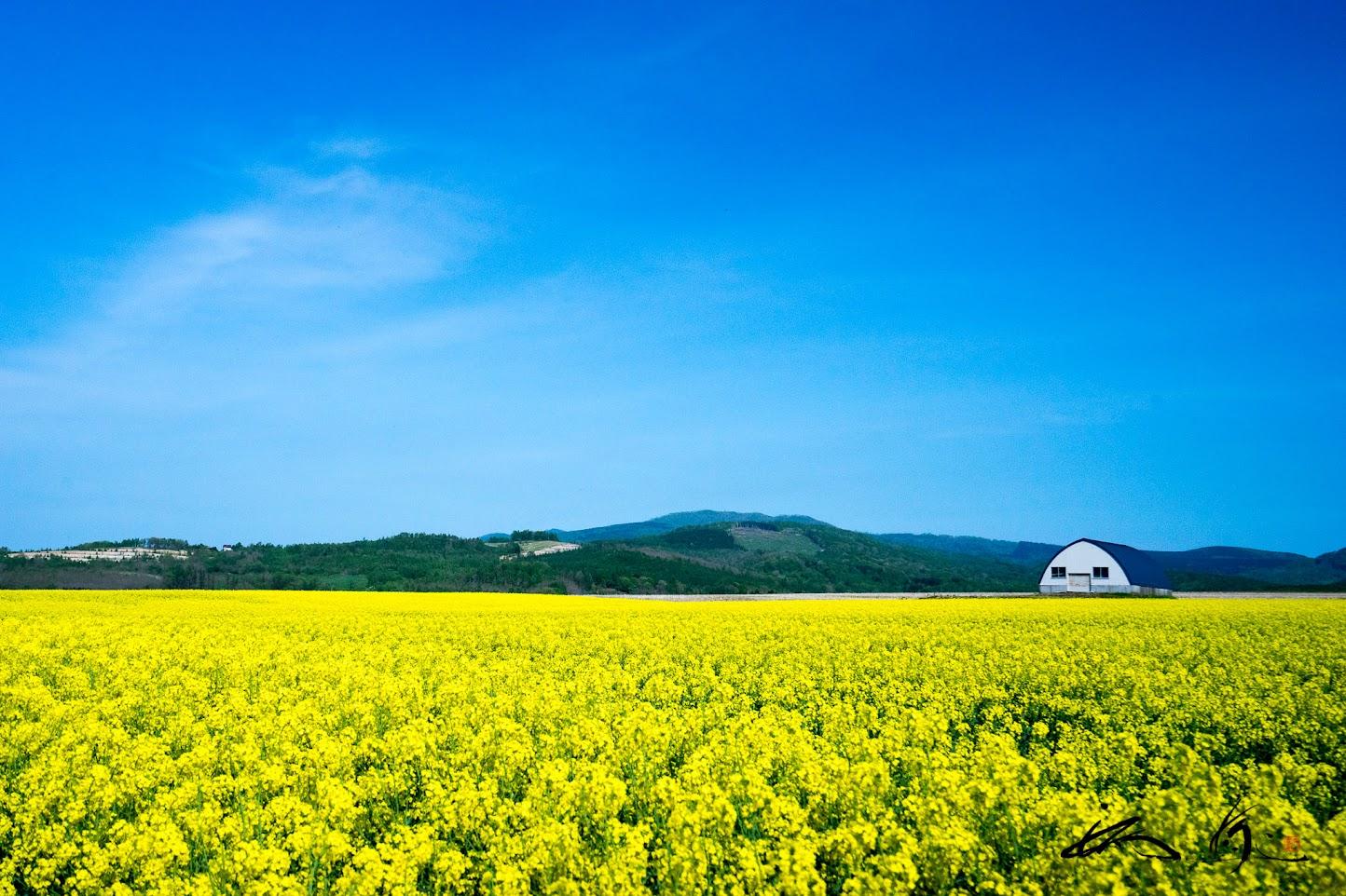 菜の花畑(滝川市)