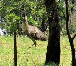Photo: Year 2 Day 160 -  One of the Emus