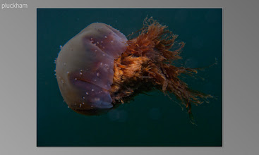 Photo: A very old Lions mane jelly