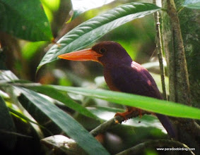 Photo: Ruddy Kingfisher, Ranforest Discovery Center, Sepilok