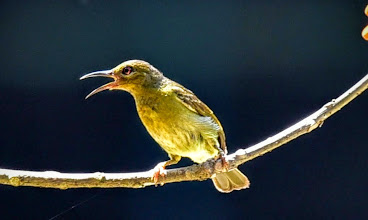 Photo: Red-throated Sunbird (Anthreptes rhodolaemus)-F