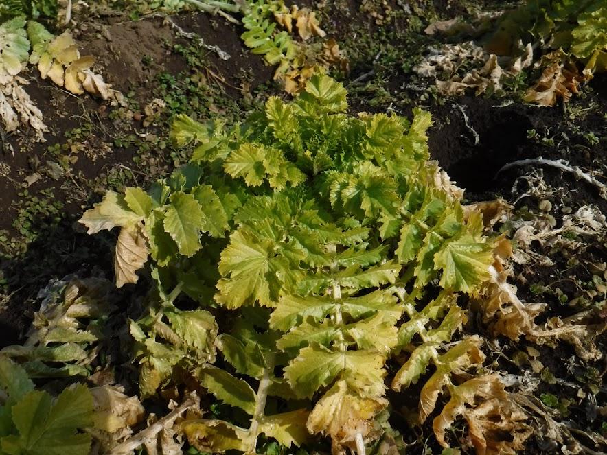 三浦大根は葉っぱが枯れています。