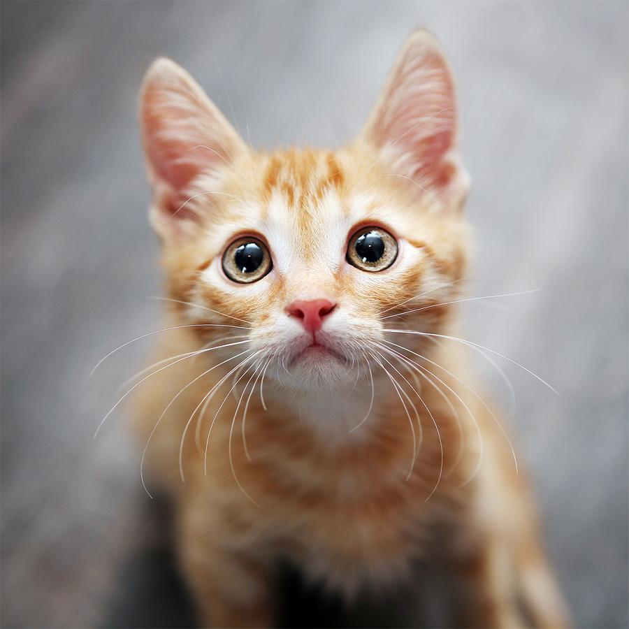 ginger kitten by Ekaterina Kaznacheeva - Animals - Cats Portraits ( cat )